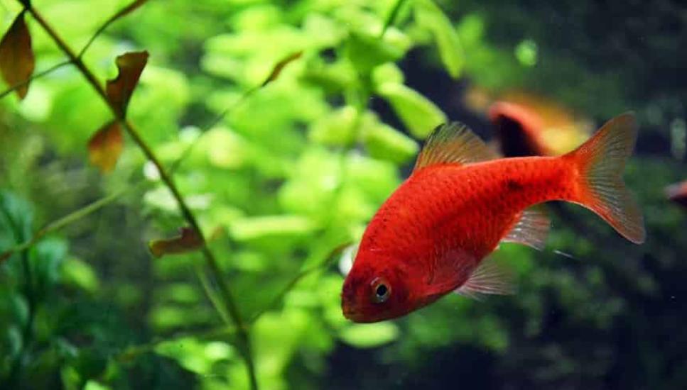Най-агресивните риби