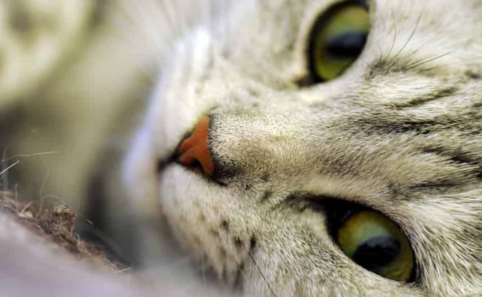 Здравето на котките - причини за сърбежа и бълхите