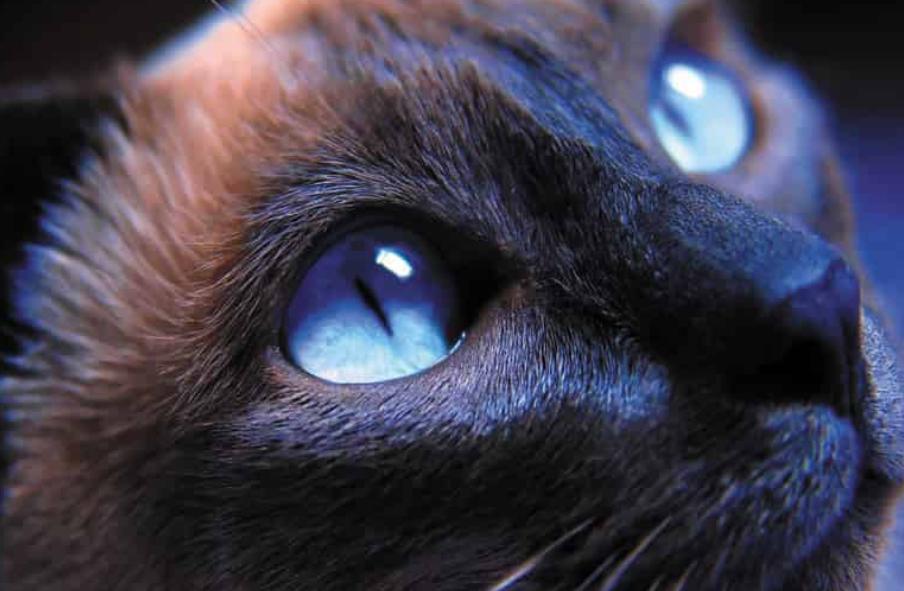Очни заболявания при котките: причини, симптоми, лечение