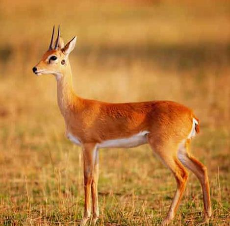 Антилопа ориби