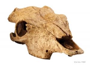 Exo Terra Декоративен череп на говедо 2